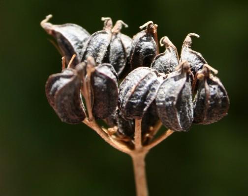מורית גדולה Smyrnium olusatrum L.