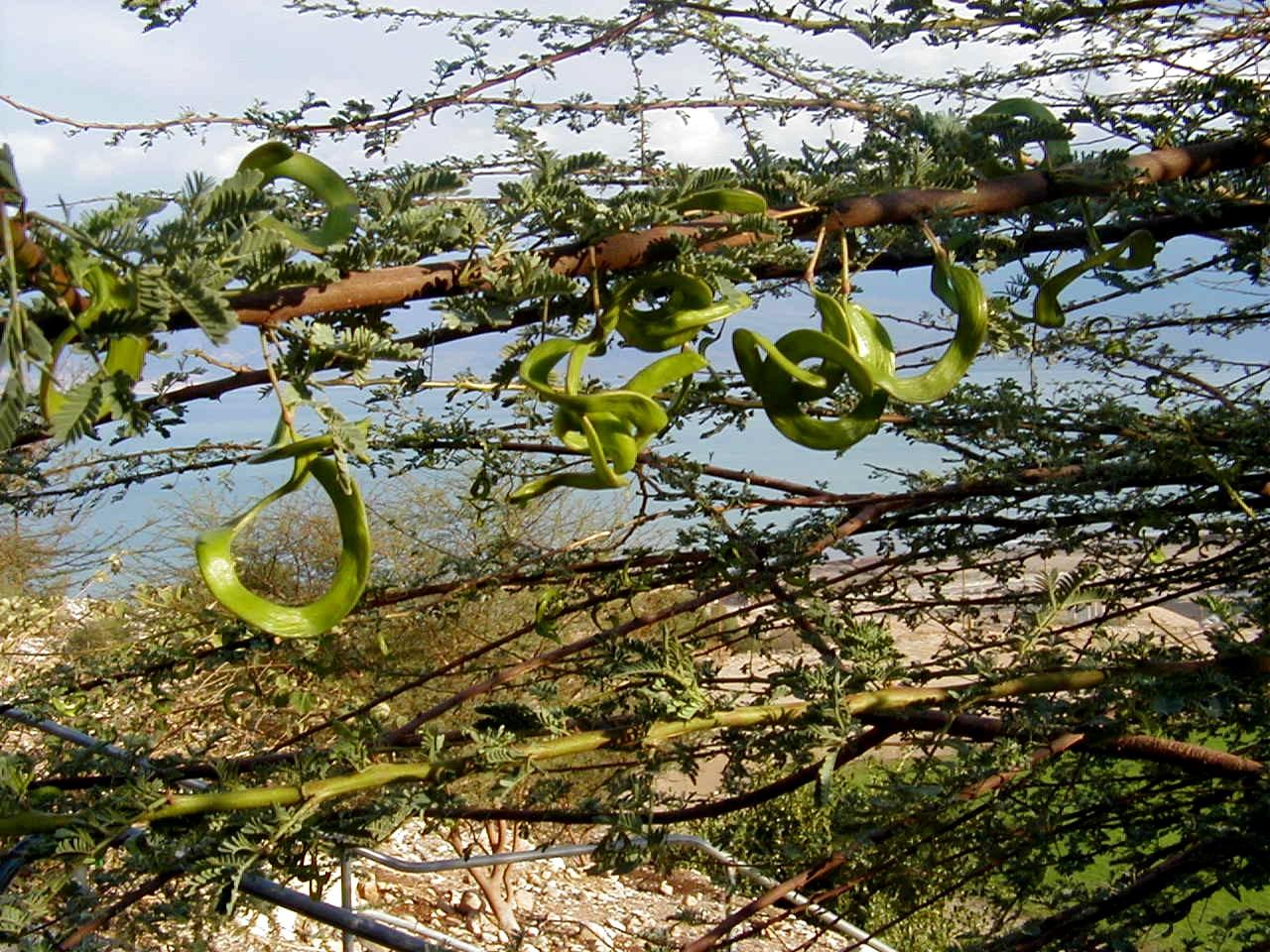 Acacia Raddiana Savi Flora Of Israel Online