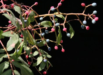 הפירות  הכהים מלאים והזרע שבתוכם ירוק; הפירות האדומים ריקים.