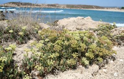 עשבים רב-שנתיים קירחים בסדקי סלעים סמוך לחוף הים. העלים בשרניים, גזורים-מנוצים 2-1 פעמים.