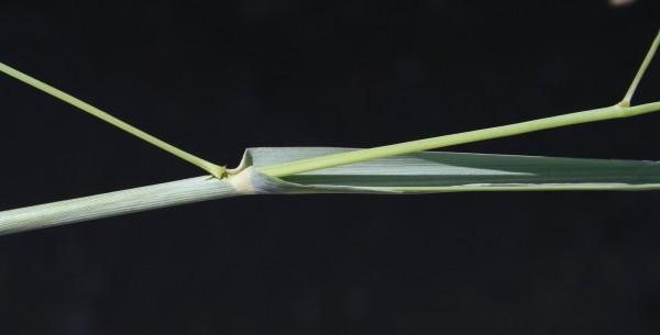 דוחן מכחיל Panicum coloratum L.