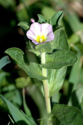 חבלבל גלוני Convolvulus humilis Jacq.