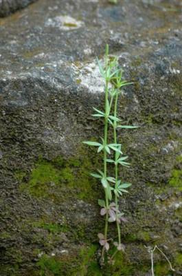 צלבית רחבת-עלים Crucianella latifolia L.
