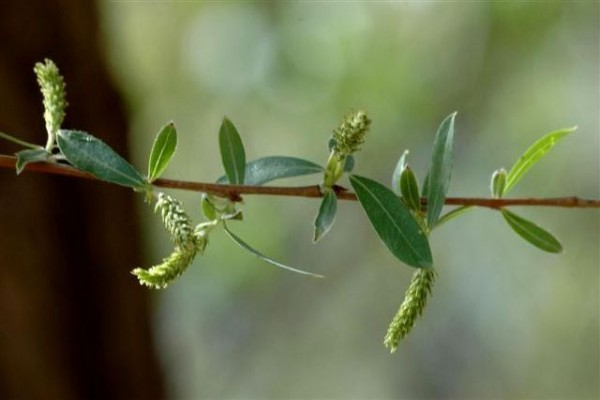 ערבה לבנה Salix alba L.