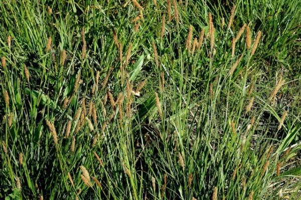 זנב-שועל ביצתי Alopecurus arundinaceus Poir.
