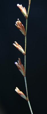 עדעד הגליל Limonium galilaeum Domina, Danin & Raimondo