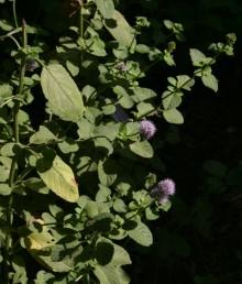 דורי הפרחים צבורים לקרקפות בקצות הגבעולים. העלים בעלי פטוטרות.