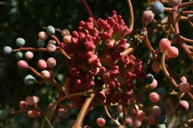 במרכז התמונה עפץ דמוי אלמוג. הפירות הכדוריים הכהים מלאים והזרע שבתוכם ירוק; הפירות האדומים ריקים.