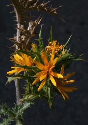חוח ספרדי Scolymus hispanicus L.