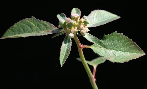 Euphorbia heterophylla L.