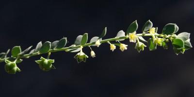 צמחים קירחים כחלחלים. העלים דמויי ביצה או ביצה הפוכה.