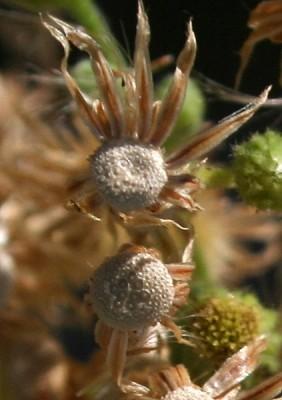קייצת מלבינה Erigeron sumatrensis Retz.