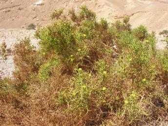 בני-שיח צהובי פרחים שענפיהם הפעילים ירוקים, סבוכים, סעיפיהם מפושקים בזווית רחבה ומסתיימים בקוצים.