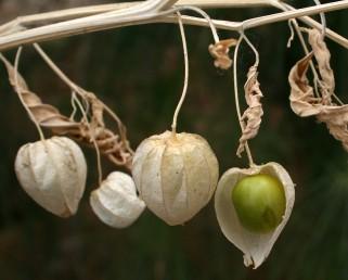 עשב רע מטפס בשטחים חקלאיים ובצדי דרכים. הגביע הפורה נפוח, בעל 8-6 צלעות בולטות; עוקץ הפרי ארוך מהגביע הפורה