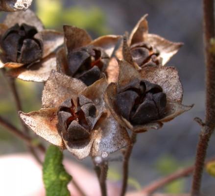לוטם מרווני Cistus salviifolius L.