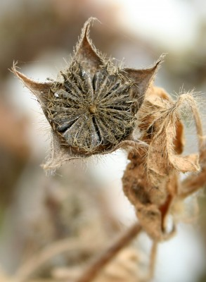 אנודה מצוייצת Anoda cristata (L.) Schltdl.