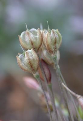 שום סתווי Allium tardiflorum Kollmann & Shmida