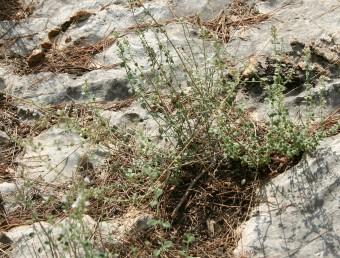 בני-שיח ריחניים (ריח מנטה) מכוסים שערות הדוקות, צפופות וקצרות. צמחי סלעים בחבל הים-תיכוני.