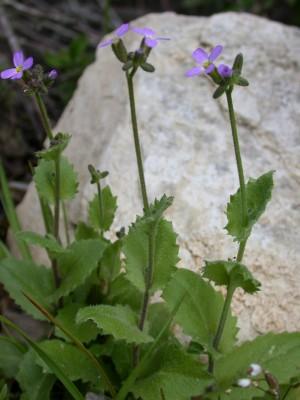 ארביס אביבי Arabis verna (L.) R.Br.