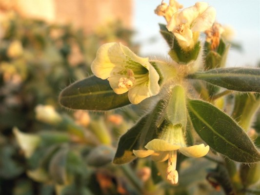 שיכרון לבן Hyoscyamus albus L.