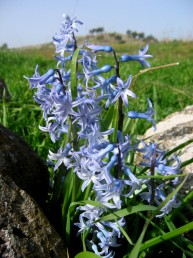 התפרחת אשכול, החפים זעירים והפרחים ריחניים
