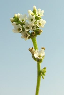 עוקץ-עקרב גלוני Heliotropium bacciferum Forssk.