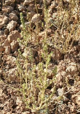 ירבוז יווני Amaranthus graecizans L.