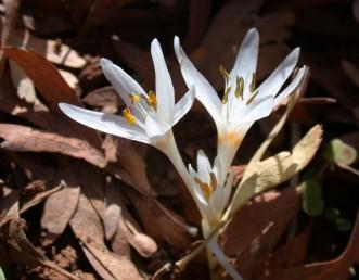 הפרחים לבנים (לעיתים ורדרדים), המאבקים שחורים, האבקה צהובה. הצופנים הכתומים נראים בבסיסים של זירי האבקנים