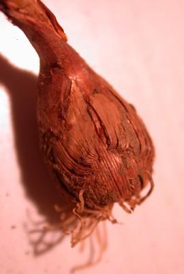 Crocus hermoneus Maw