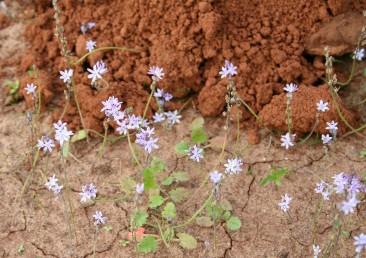 צמחים רב-שנתיים בעלי בצל מפתחים אשכול פריחה בסתיו לפני הגשם הראשון ללא עלים. לאחר הגשם יש פרטים המפתחים תפרחת שניה.
