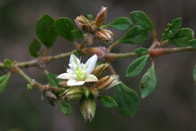 העלים מסורגים או ערוכים בכעין דורים, הפרחים מצופפים בחיקם.