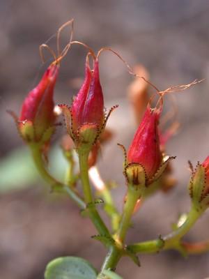 פרע קטן-עלים Hypericum thymifolium Banks & Sol.