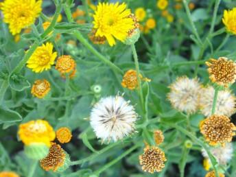 הקרקפת בעלת פרחים לשוניים וצינוריים צהובים. זרעוני המרכז בעלי ציצית עשויה זיפים ושערות.