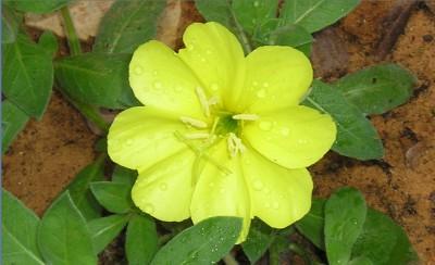 העלים תמימים או מעט משוננים אך לא גזורים לאונות.