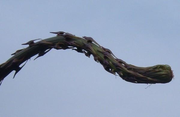 אספרג מנוצה Asparagus setaceus Gessop
