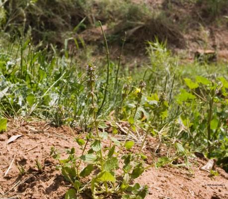 אשבל השדה Stachys arvensis (L.) L.