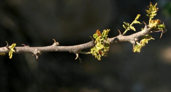 Acacia tortilis (Forssk.) Hayne