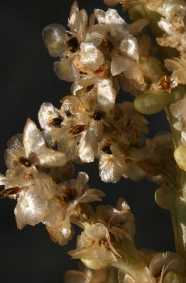 יפרוק זיפני Anabasis setifera Moq.