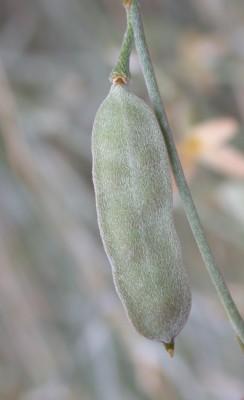 פרסטיה מצרית Farsetia aegyptia Turra