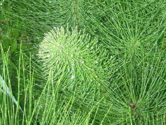 שבטבט גדול Equisetum telmateia Ehrh.