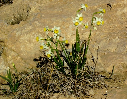 נרקיס מצוי Narcissus tazetta L.