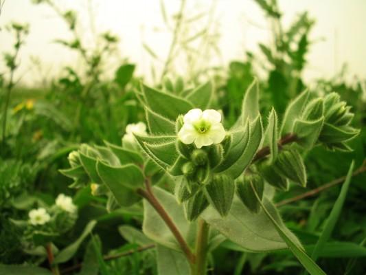 נוניאה כרסנית Nonea echioides (L.) Roem. & Schult.