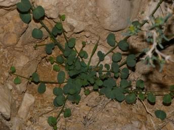 העלים דמויי כליה או עגולים.