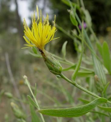דרדר אשקלון Centaurea ascalonica Bornm.