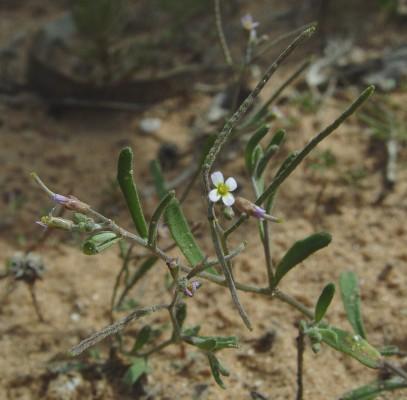 מרסיה זעירה Maresia nana (DC.) Batt.