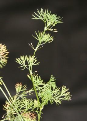 כרפסית עדינה Ciclospermum leptophyllum (Pers.) Sprague