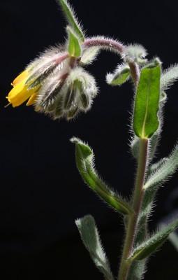 סומקן מעוצה Onosma frutescens Lam.