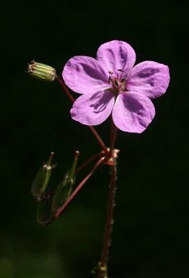 מקור-חסידה רומאי Erodium acaule (L.) Becherer & Thell.