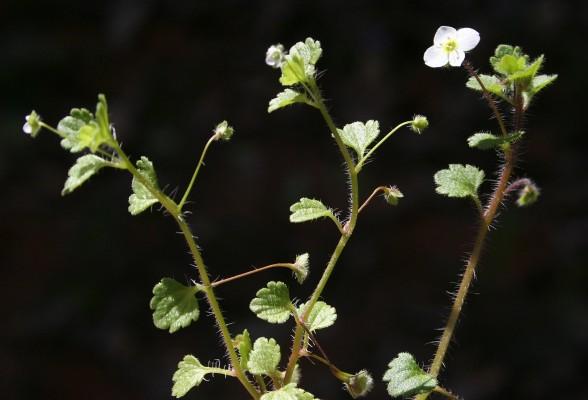 ורוניקה קטנת-פרחים Veronica panormitana Tineo