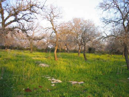 אלון התבור Quercus ithaburensis Decne.